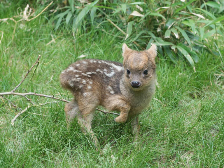smallest deer